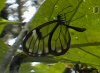 Clear-winged Butterfly