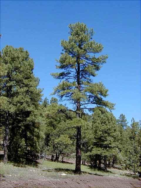 Ponderosa Pine Tree Images Tree
