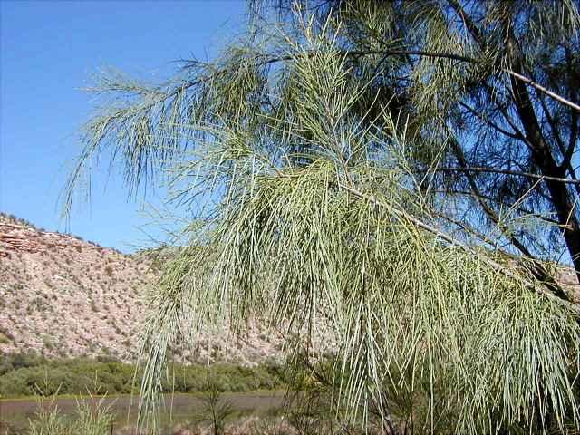 salt cedar, tamarisk (Tamarix parviflora)